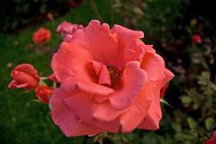 Harmonie/Harmony (George Goodnight) Tags: pink flower rose nikon rosa sunny blumen harmony tuesday badenbaden byrds harmonie nikond40 naturalharmony hppt happyprettypinktuesday