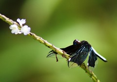 """I am the """"Widow Skimmer Dragonfly"""",... on bended knee i ask"""