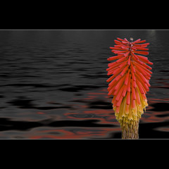 Digiflower (Sergio Verrecchia - Digital Imaging Technician) Tags: red flower nikon fiore rosso shiningstar kniphofia redhotpoker bloomingflowers inspiredbylove kniphofiauvaria flowerotica flickrsbest goldenmix flickrphotocontest mywinners saveearth goldmedalwinner diamondheart fabulousflowers globalvillage2 nikond40x d40x flickrbronzeaward citrit ysplix excellentphotographerawards naturephotoshp flickrsilveraward heartawards prettynaturephotos theunforgettablepictures diamondstars platinumheartawards theperfectphotographer excellentflowers goldstaraward flowersmacroworld scoreyourmasterpiece goldstarawardgoldmedalwinner excellentsflowers digitaleloquence checkoutmynewpics flowerbudsandblossoms multimegashot colourfulshot mimamorflowers intitolare sergioverrecchia llovemypics screamofthephotographer floresporlapaz awardtree awesomeblossoms raregemsdoublefaved doubledragonawards naturescreations mariposasflorayfauna thebestvisions guidafotografica photographyforrecreation photographyforrecreationemerald photographyforrecreationsilver photographyforrecreationforgold