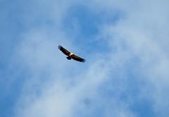 Vola in alto maestoso grifone