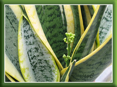 Our potted Sansevieria trifasciata 'Golden Hahnii' with a budding spike, shot Sept 18, 2008