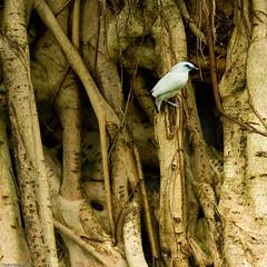 Hong Kong Park Aviary - Bali Mynah