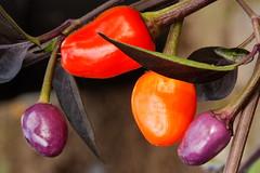 Hot Jalapenos (jver64) Tags: hot colours jalapenos hothothot hothot extremelyhot hothothothot hothotterthehottest