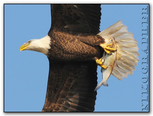 Bald Eagle With Prey