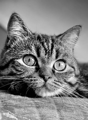 CoverGirl (Lanamaniac) Tags: blackandwhite bw pet animal cat fur photography photo blackwhite mutt eyes furry nikon feline sweet gorgeous tabby adorable kitty nikkor gatto koshka gorgeouseyes  d90 ksenya bestofcats nikond90 lanamaniac kltteh lanamaniacphotography