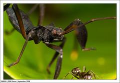 Sept_IMG_0952 (yimING_) Tags: macro ant bugs bee canonmpe65 dragonflydamselcanon mpe65macrobugsantbeedragon