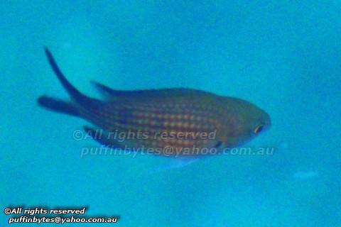 Mediterranean Damselfish - Chromis chromis