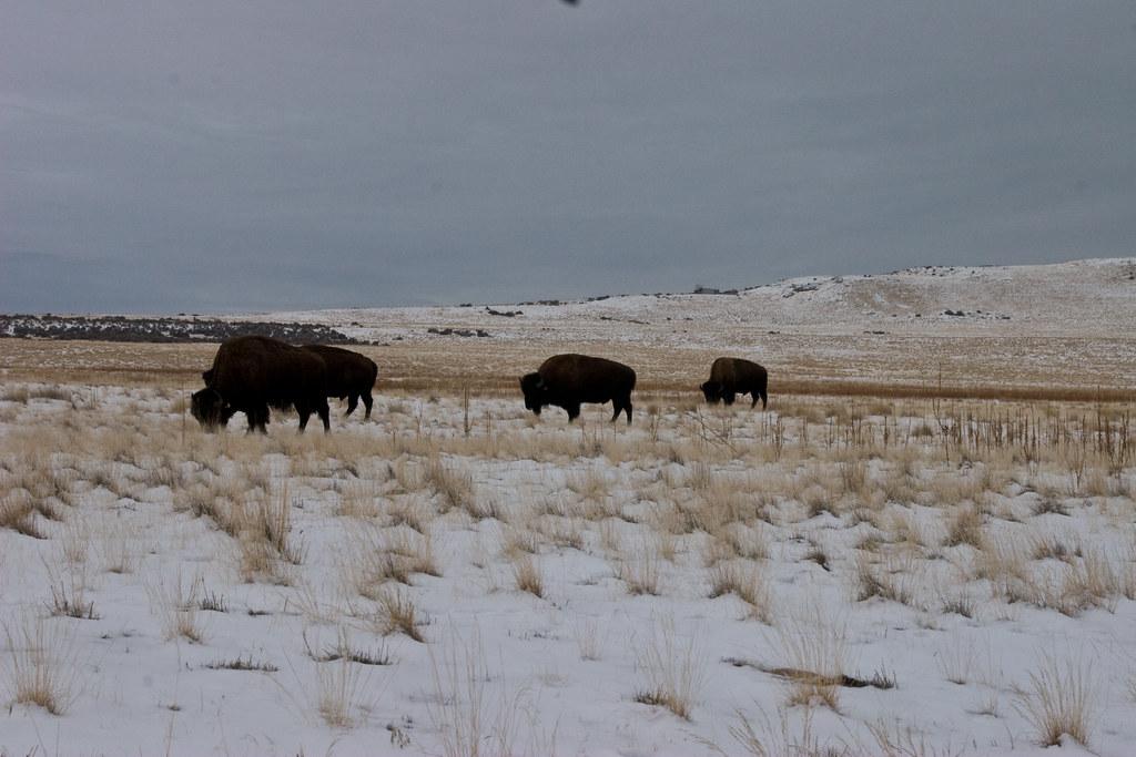 Buffalo on Antelope Island