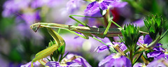 mantis (Sky Noir) Tags: macro green closeup bug mantis insect purple praying bybilldickinsonskynoircom