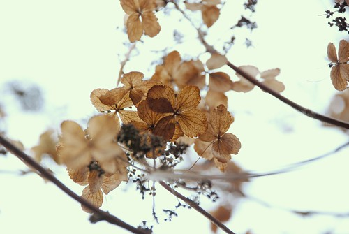 looking up at winter hydrangea...