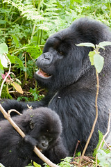 Silverback and baby Gorilla