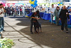 dog show 059 (firma di molossoid) Tags: dobermann