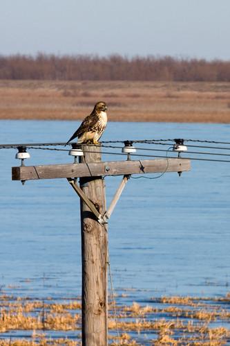 Red-tailedHawkEmiquon12282008JGWardIMG_7704