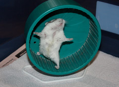 Play Time - Yay! (tishay) Tags: pet cute wheel mammal rodent furry play dwarf adorable ham rob explore hamster playtime roborovski hammy alfie robo smallanimal dwarfhamster hammie roborovskii hamsterwheel flickrsexplore phodopus phodopusroborovskii phodopusroborovski