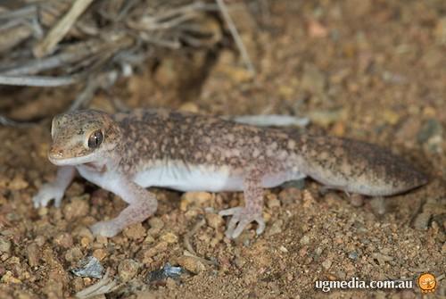 Fat-tailed gecko (Diplodactylus conspicillatus)