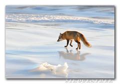 Exploring The Ice 2 of 2 (Nikographer [Jon]) Tags: cold male ice de bravo jan january freezing delaware 2009 redfox nwr bombayhook specanimal bombayhooknationalwildliferefuge 20090117d30050316 wsop1