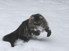 Sam (chrisgandy2001) Tags: snow cute cat naughty kitten adorable fluffy fluff cuddly pussycat fluffball