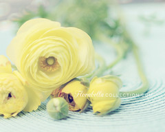 Yellow... (Shana Rae {Florabella Collection}) Tags: flowers light yellow vintage nikon natural blossoms 85mm shades buds friday ranunculas florabella shanarae