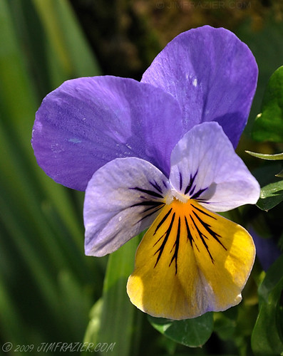 "Viola ""Sorbet Yellow Frost"""
