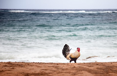 why did the chicken cross the ocean? (eyebex) Tags: ocean sea bird chicken animal delete5 one hawaii saved10 cock 101 kauai deleted rooster save10 105 savedbythedeltemeuncensoredgroup savedbythedeletemeuncensoredgroup 5d2