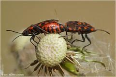 Lygaeidae Spilostethus saxatilis
