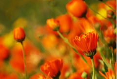 Orange sea (frozencycler) Tags: italien flowers plants plant flores flower color colour colors nikon plantas blumen photograph botanico blomma fiori blume blomst botanique colori itlia itali bloem blm botaniske botanisk italya botanik botaniska botanischer itaalia 2011 itlia italt liguri botanische itlie ligurien italija itlija d40x ligria liguuria frozencycler  flickraward mygearandme ligrija