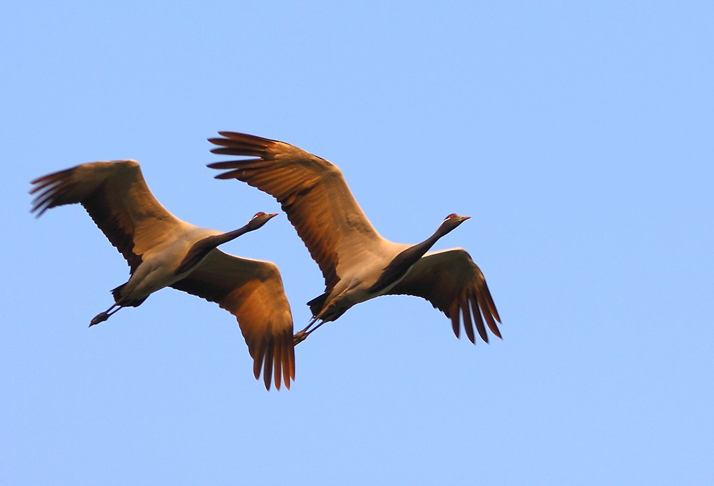 2011_02_12_015071_Demoissele_Cranes_Flight_Crop