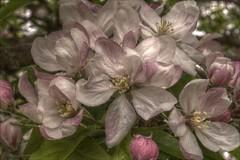 AppleBlossomHDR (Tony Tooth) Tags: pink green apple nikon purple blossom buckinghamshire may bucks hdr d90 steepleclaydon