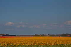 Yellow..... (Knoffelhuisie Photography.) Tags: yellow tulips noordoostpolder geel nop tulpen elementsorganizer