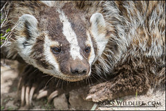 Teton Badger  061111-9765-W.jpg (RobsWildlife.com  TheVestGuy.com) Tags: wild nature canon outdoors photography action wildlife professional badger getty wyoming tetons gettyimages wildlifephotographer rawnature grandtetonnationalpark canoncamera 2011 gtnp disambiguation 2013 tetonnationalpark fineartsphotography 61111 canon7d wildlifeframed thevestguy robdaugherty thevestguycom robswildlifecom robswildlife robswildlifecom 8016989080 framedwildlife