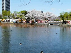 uenosakura (63) (davidjapan) Tags: park cherry ueno blossom sakura hanami kirschbluete