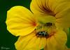 Capuchinho/Capuzin (Jorge L. Gazzano) Tags: macro flor firstquality duetos sonyh9 jorgelgazzano