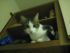 He jumps right in whenever I open a kitchen cabinet door (Isabel Wang) Tags: max cat curiosity cupboard pinknose kitchencabinet kissablekat
