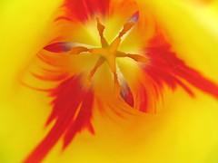 Look Inside (S h e l l y) Tags: red flower nature floral beauty yellow garden spring flora tulip inmysistersgarden mywinners spring2008 pjpsgarden songlyricsfromherobymariacarey