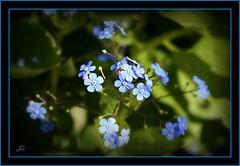 Blue Flowers (bonksie61) Tags: flowers blue smrgsbord digitalcameraclub supershot avision almostanything peachofashot