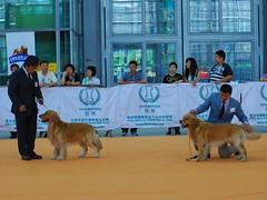 2008 CKC in Shenzhen---Golden Retriever (Horizon616) Tags: dog shenzhen doggy ckc nikkor50mmf14d nilkon