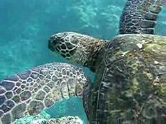 hanging with honu (artolog) Tags: ocean sea motion green beach swimming swim movie hawaii video underwater snorkel pacific turtle floating snorkeling explore kauai honu graceful kee time:hour=4pm