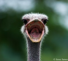 Angry Ostrich (Jesse James Photography) Tags: toronto animals zoo nikon wildlife ostrich torontozoo 8020028 nikond80 impressedbeauty