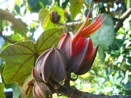 Chirantodendron pentadactylon