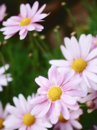 Pinkの花