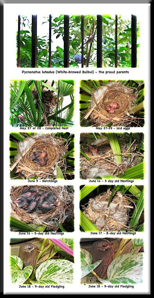 Life poster: breeding of Pycnonotus goiavier (Yellow-vented Bulbul)