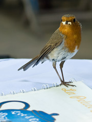 Robin Redbreast stealing cake