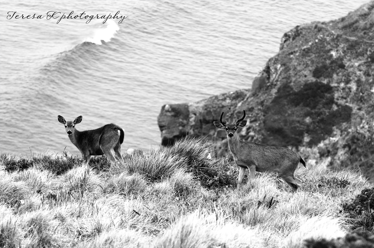Deer on the cliffs in Point Reyes California by Teresa K photography