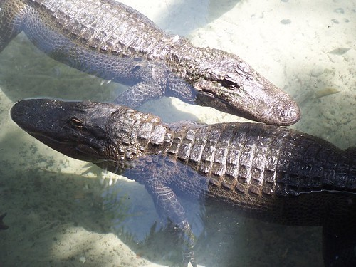 two alligators not crocodiles :P
