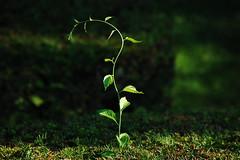 Hedge Growth (ArcherVision) Tags: park summer ma nikon newengland july springfield forestpark urbanpark d40 nikond40 archervision