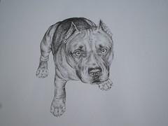 American Pitbull Drawings In Pencil Pitbull terrier (marc