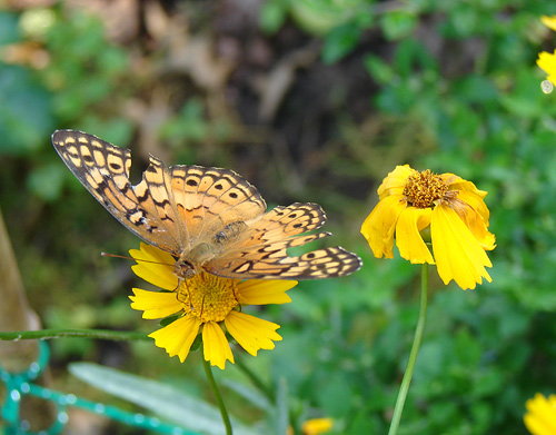 buttterfly on coreopsis