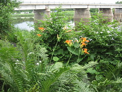 les jardins de Danielle   Becs en cours 051 (illya Kouriyahkine) Tags: flower fleur raspberry fougres framboise malva hoosta rivirebcancour becsencours