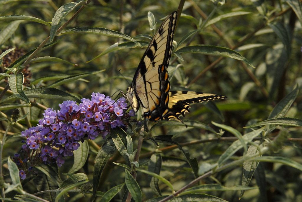 Butterfly on butterfly bush panicle