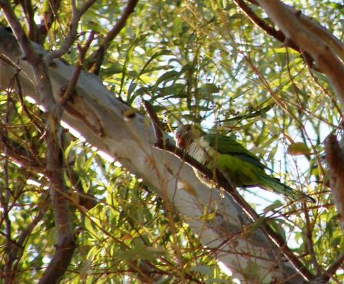Lorito en eucalipto